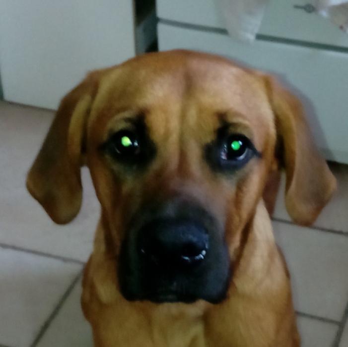 photos de sun chien m le golden retriever crois boxer de 9 mois. Black Bedroom Furniture Sets. Home Design Ideas