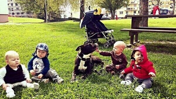 chien boxer nain