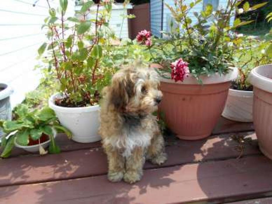 Photos de Caramele, chienne Femelle Yorkshire terrier