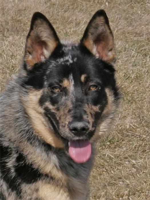 Photos de professeur chien m 226 le berger allemand crois 233 berger