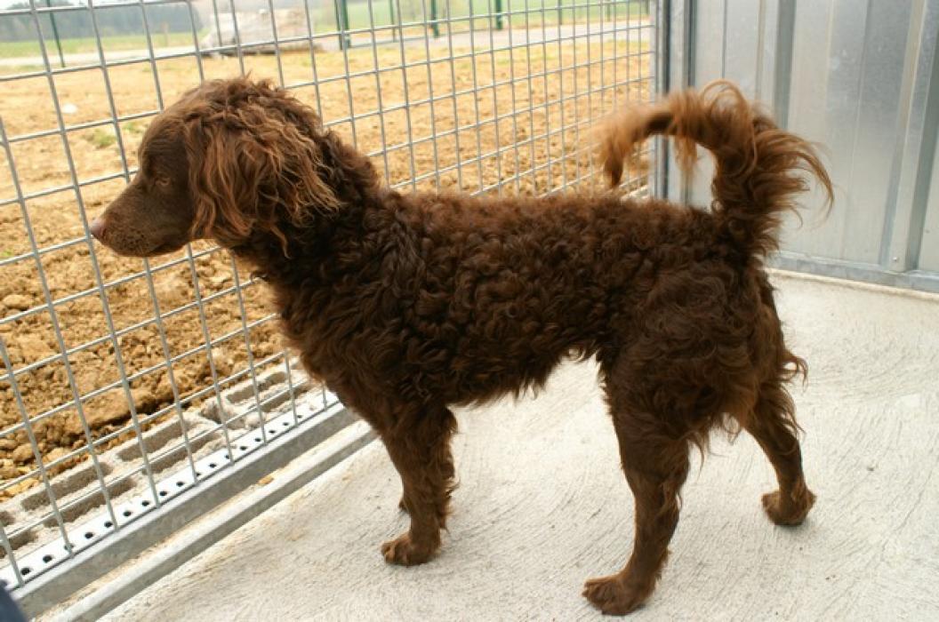 Photos de Teddy, chien Mâle Caniche croisé Epagneul breton