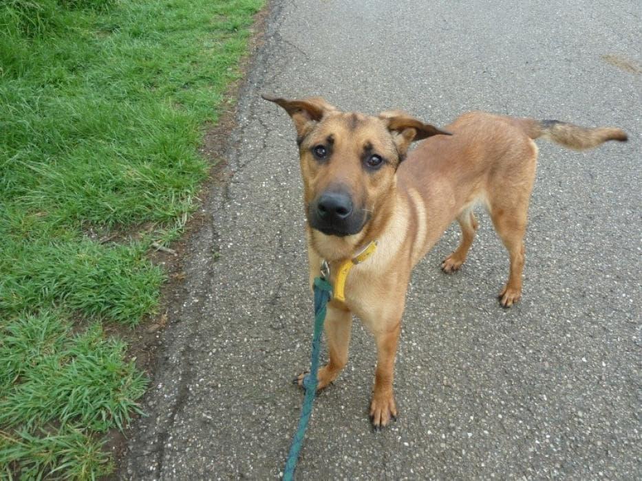 Photos de Luky, chien Mâle croisé Berger Belge Malinois de 2 ans