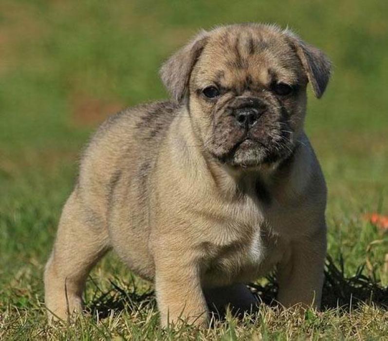 Photos de Boris, chien Mâle Carlin croisé Bulldog Anglais