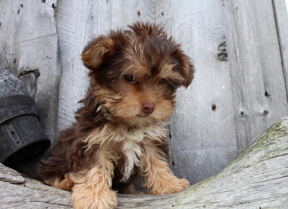 Photos de Pixel, chien Mâle Caniche croisé Yorkshire